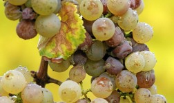 Learn Wine: Sauternes